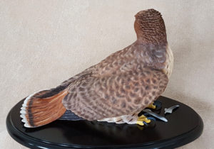 Red-tailed hawk, right side view