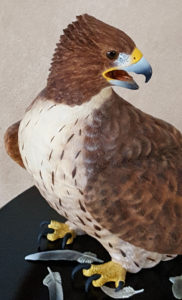Red-tailed hawk, front close up view