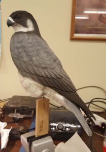 wood carving, sculpting, wildlife art, peregrine falcon, raptors, birds of prey.